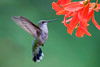 10790 - Ruby-throated Hummingbird - Itasca County, MN