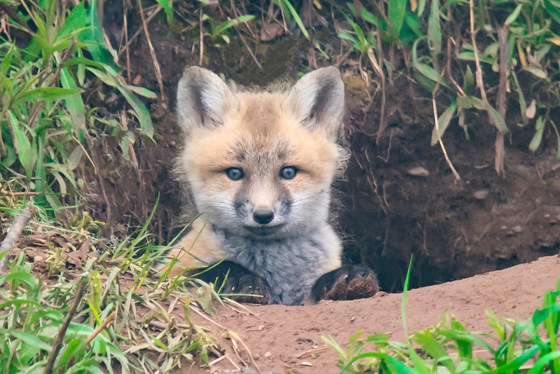 10763 - Red Fox kit