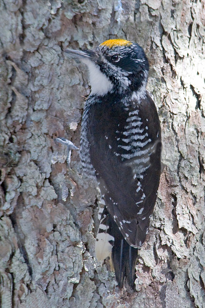 10392 - American Three-toed Woodpecker - Itasca County, MN
