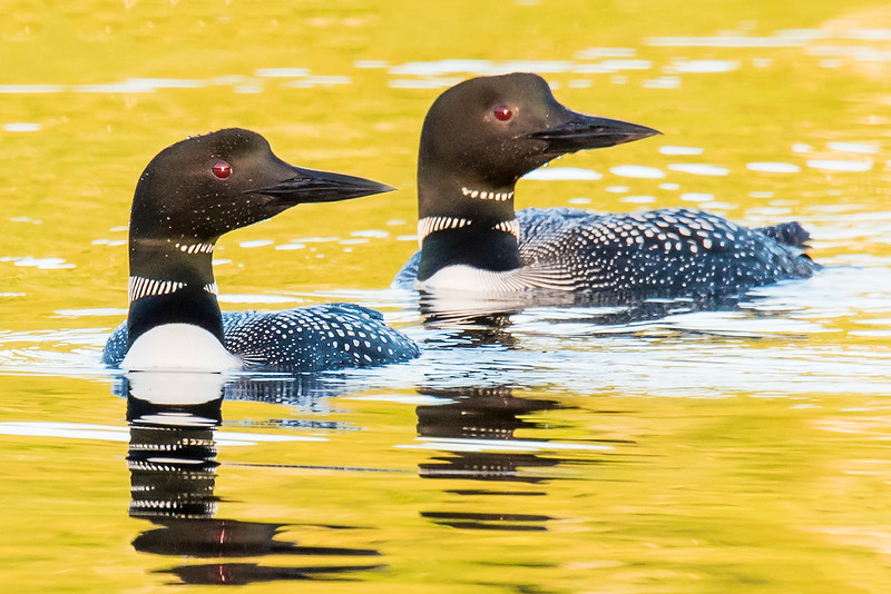 10788 - Common Loons - Itasca County, MN
