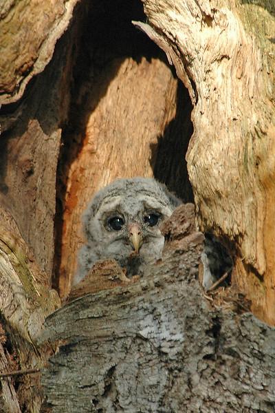 10053-Owl-Barred-juv-Bar Harbor-01-ME-20050603-PS-4-4x6 - Copy