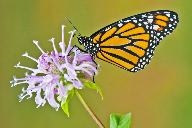 10693 - Monarch Butterfly - Itasca County, MN