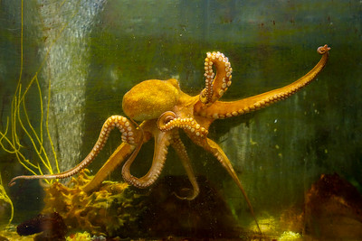 10852 - Common Octopus