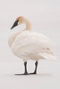 10785 - Trumpeter Swan - Itasca County, MN