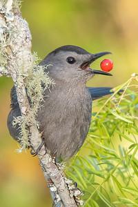 10870-Gray Catbird