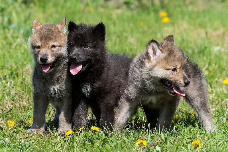 10706 - Gray Wolf Pups