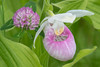 10765 - Showy Lady's-slipper and Red Clover