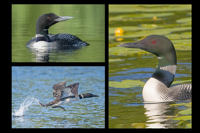 10837 - Common Loons