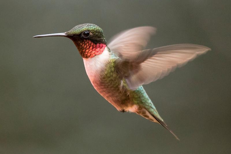 10712-Ruby-throated Hummingbird-male