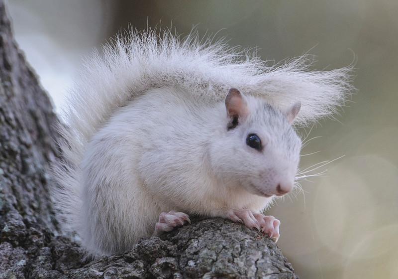 10606 - White Squirrel - Ochlockonee River State Park - Florida