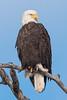 10754 - Bald Eagle