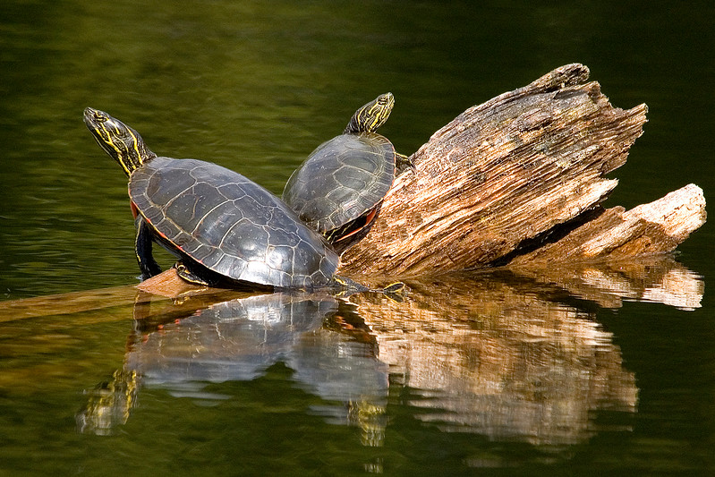 10420 - Painted Turtles - Itasca County, MN