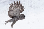 10758 - Great Gray Owl