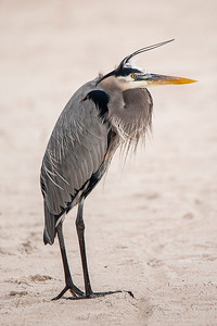 10855 - Great Blue Heron