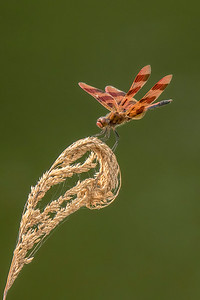 10821 - Calico Pennant Dragonfly