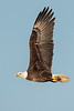 10791 - Bald Eagle - Apalachicola, Florida