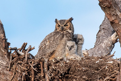 10822 - Great Horned Owl - adult and babies in nest
