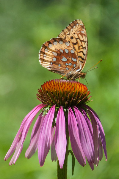10789 - Great Spangled Fritillary - Itasca County, MN