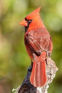 10873-Northern Cardinal