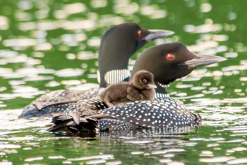 10428 - Common Loons with baby - Itasca County, MN