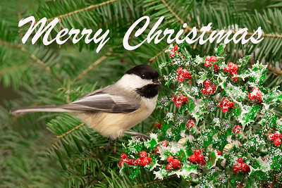 10849 - Black-capped Chickadee