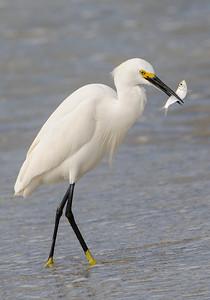 10633-Snowy Egret-with fish-Blind Pass-Sanibel Island, FL