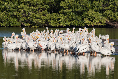 10783- American White Pelican group - Sanibel Island, Florida