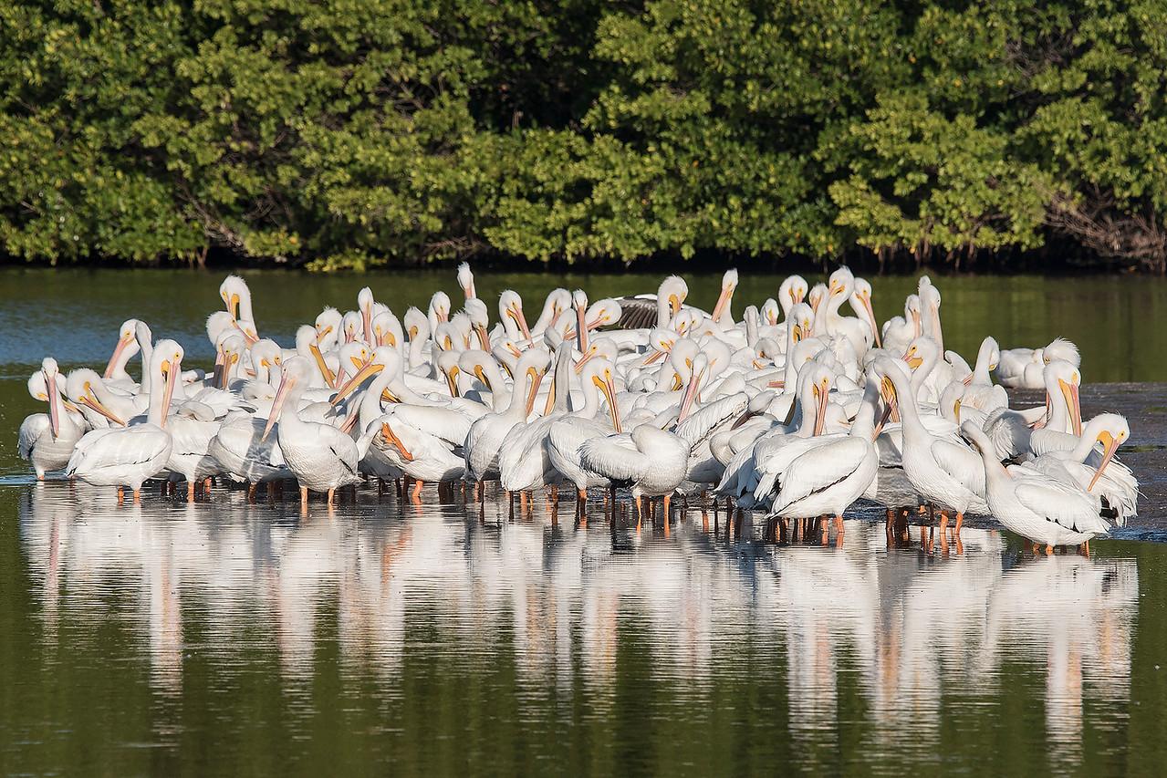 10783- American White Pelican group - Sanibel Island, Florida