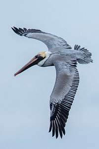 10857 - Brown Pelican - St. George Island, FL