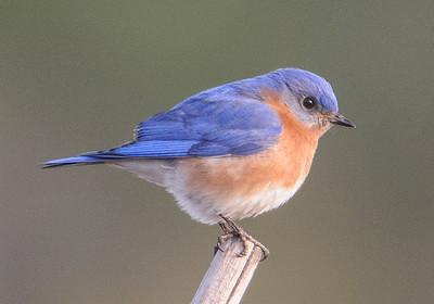 10632-Eastern Bluebird-male-Carrabelle, FL