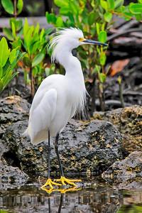 10721-Snowy Egret-Ding Darling NWR-Sanibel Island, FL