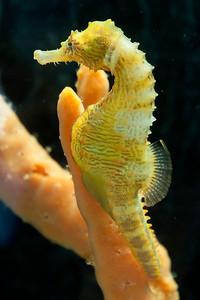 10720-Sea Horse-Gulf Specimen Lab-Panacea, FL