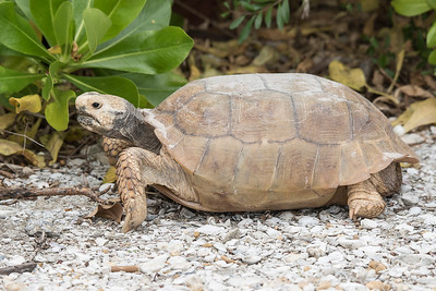 10829 - Gopher Tortoise - Sanibel Island, FL