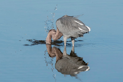 10854 - Reddish Egret - Sanibel Island, FL