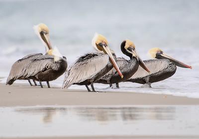 10631-Pelican-Brown Pelicans-St. George Island State Park-FL