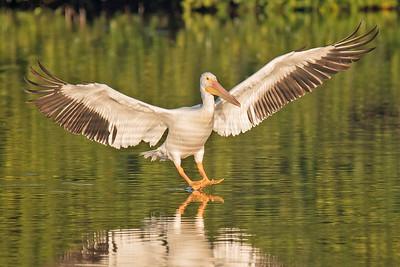 10812 - American White Pelican - Sanibel Island, FL
