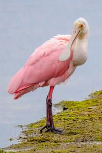 10723-Roseate Spoonbill-Ding Darling NWR-Sanibel Island, FL