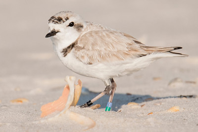 10777-Snowy Plover - St. George Island, Florida