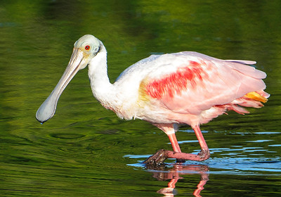 10634-Roseate Spoonbill-Ding Darling NWR-Sanibel Island, FL