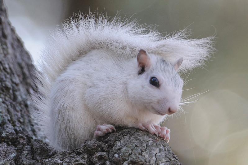 10606-Gray Squirrel (White form) - Ochlockonee River State Park, Florida