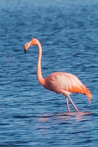 10830 - American Flamingo -St. Marks NWR