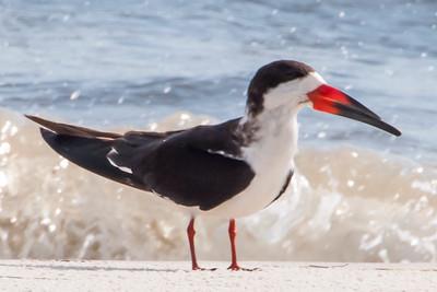 10675-Black Skimmer - Carrabelle Beach, FL
