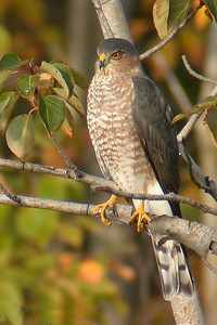 10071-Sharp-Shinned Hawk-female-Taconite Harbor, MN