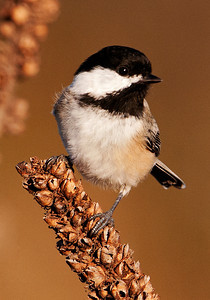 10525 - Black-capped Chickadee - Bay Shore Blufflands Preserve - Door County, WI