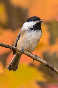 10787 - Black-capped Chickadee - Lake County, MN