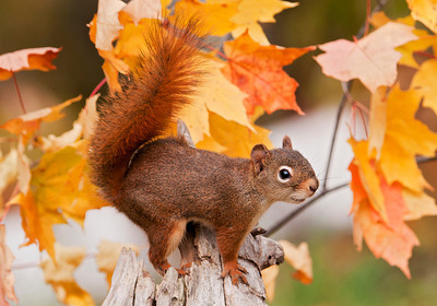 10583-Red Squirrel-Dunning Lake, MN