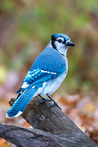 10733 - Blue Jay - Dunning Lake - Itasca County, MN