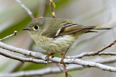 10267-Ruby-crowned Kinglet-St. George Island, FL