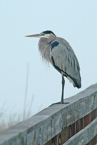 10114-Great Blue Heron- St. George Island State Park, FL