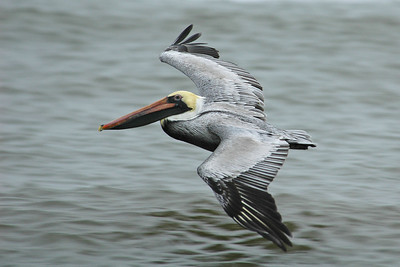 10034-Brown Pelican - St. George Island State Park, FL